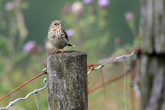 9P1A9885, Meadow Pipit (Anthus pratensis) Holcombe Moor, Greater Manchester. (Adrian Dancy) Tags: nature wildlife wildbird bird meadowpipit adriandancy holcombehill holcombemoor migrant perchingbird perched songbird anthuspratensis