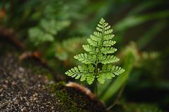 緑 (fumi*23) Tags: ilce7rm3 sony sigma 70mm sigma70mmf28dgmacro macro a7r3 macrolens fern plant leaf green 緑 植物 葉 シダ植物 ソニー シグマ
