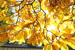 Autumn leaves of magnolia (Teruhide Tomori) Tags: 京都 秋 黄葉 紅葉 庭園 京都御所 京都御苑 日本 関西 近畿 樹木 風景 garden tree autumn japan japon kyoto red landscape kyotogyoen kyotoimperialgarden kyotogosho kyotoimperialpalace yellow morning light sunlight magnolia leaf モクレン