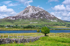 """Errigal & Her Fairy Trees"" (Gareth Wray - 13 Million Views, Thank You) Tags: mount errigal mountain famous derryveagh mountains landscape sheep shearing lamp fairy tree wool ram view gweedore county donegal ireland irish field countryside nature grass heather mts mt gareth wray photography nikon d810 nikkor wide angle lens scenic drive landmark tourist tourism location visit sight site dunlewey lake lough poison poisoned glen valley grassy summer lakescape moor day photographer vacation holiday europe grassland sky plant clady river forest water 2470mm"