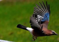 Hunting or Hunted ? (hansjoergBo) Tags: birds jay garden
