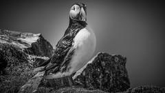 Färöer Puffin (uwesacher) Tags: färöer faroe island inseln papageitaucher vögel klippen kliffs bw sw 2016 puffin nordatlantik føroyar mykines