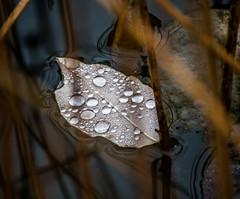 Floating Leaf. (Omygodtom) Tags: macro raindrop waterdrops pond lowkey natural nikon70300mmvrlens nikkor dof d7100 digital urbunnature usgs
