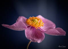 Pink anemone (Magda Banach) Tags: nikond850 pastel anemone blooming blue bluebackground colors delicate flora flower macro nature pink plants yellow