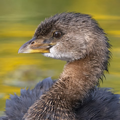 Pied-Billed Grebe (PeterBrannon) Tags: bird florida nature piedbilledgrebe podilymbuspodiceps water waterfowl wildlife