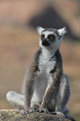 Do I feel an ant in my fur? (johco266) Tags: coth lemur lémurien lemuur ringstaartlemuur natuur nature natur naturaleza nikon madagascar zoogdier mammifère dieren animals coth5