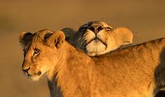"The Power of Hugs  3I2527 (Dr DAD (Daniel A D'Auria MD)) Tags: lions ""bigcats"" ""cats"" lion animal mammal leone wildlife ""wildlifeofafrica"" ""wildlifeoftanzania"" ""nature"" ""wildlifephotography"" ""bigfive"" ""serengeti"" ""tanzania"" ""africa"" ""children'swildlifebooksbydanielad'auriamd"" ""danielad'auriamd"" ""drdadbooks"" ""march2014"" 2013 kenya ""maasaimara"" ""masaimara"" ""mara"" ""november2019"""