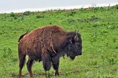 Shaggy (Jim Johnston (OKC)) Tags: buffalo wichitamountainswildliferefuge plains oklahoma