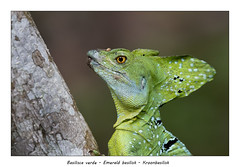 Emerald basilisk (Jan H. Boer, Nature photographer) Tags: basiliscaverde emeraldbasilisk kroonbasilisk animals reptiles nature portrait close costarica bocapaquare nikon d500 afsnikkor200500f56eedvr jan´sphotostream2019