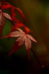 Autumn Fire (Greta Powell) Tags: macro autumn fire red maple nature naturephotography leaves life flowerphotography bokeh redbokeh redleaves