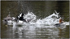 Display and displeasure (RKop) Tags: behavior raphaelkopanphotography hoodedmerganser nature nikon d500 600mmf4evr 14xtciii