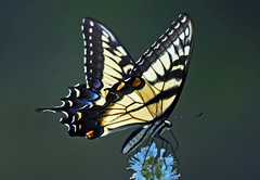 essence of beauty (pontla) Tags: doubletrouble swallowtail butterfly macro nature