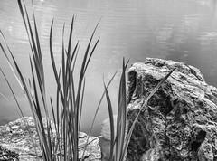 Reeds by the lake (Tim Ravenscroft) Tags: reeds grasses lake pond garden chishakuin kyoto japan japanese monochrome blackwhite blackandwhite hasselblad hasselbladx1d