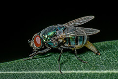 Mother Nature... (chandra.nitin) Tags: animal blowfly calliphoridae diptera greenbottlefly insect macro nature outdoor wildlife