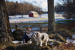11/12 Pokey & Darla; Vermont Dogs (Boered) Tags: pokey darla dogs 12monthsfordogs19 stonewall barn vermont snow