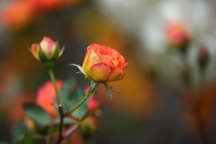 Farewell Autumn Rose? (paulapics2) Tags: rose farewell flora garden outdoors nature blooming warm bokeh