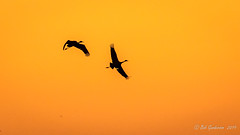 Sandhill Cranes at Sunset (Bob Gunderson) Tags: birds california centralvalley gruscanadensis northerncalifornia sanjoaquincounty sandhillcrane wadingbirds woodbridgeroad birdwatcher
