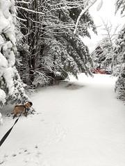 and it's not even officially winter yet (dawn michele;)) Tags: thefonz mydog pug pugdog snow snowywalk winter