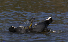 Coots high five. (spw6156 - Over 8,900,855 Views) Tags: coots high five copyright steve waterhouse