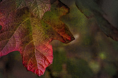 November (Colormaniac too - Many thanks for your visits!) Tags: november seasons oakleafhydrangea leaf garden macro closeup digitalpainting nature colorful pacificnorthwest washingtonstate olympicpeninsula sequim netartll topazstudio hss et