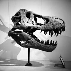 tyrannosaur (kaumpphoto) Tags: bw white black 120 tlr rolleiflex fossil skull dinosaur ilford tyrannosaurusrex shadow museum display jaw teeth sharp head bone