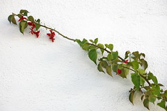 Siempre creciendo (Micheo) Tags: buganvilla rama ultimasfloresenotoño trepadora pared muro wall blanco white rojo red patio sol españa spain