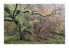 T W I S T E D - A U T U M N (Andrew Hocking Photography) Tags: twisted autumn moss tree birch ivy luxulyan cornwall valley orange leaves tension outdoors uk gb england november woods woodland forest green lightmist