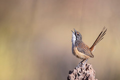 Carpentarian Grasswren (eBird.org) Tags: ebird front page birds australia flickr conservation photography science cornell library ornithology