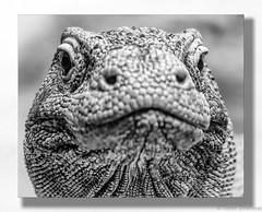 Go Ahead, Make My Day (Robert Streithorst) Tags: cincinnatizoo dragon eyes face kumoto mono robertstreithorst zoosofnorthamerica