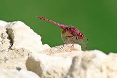 Trithemis annulata (m) (Roy Lowry) Tags: violetdropwing trithemisannulata bugibba dragonfly