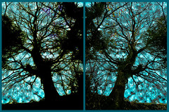 November Silhouette (Shastajak) Tags: diptych silhouette tree mirrored topazglow lightroomcc photoshopcc layers blending filters sliderssunday hss hastingscountrypark