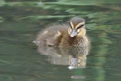 Young Mallard Duckling - Anas platyrhynchos (Phasmomantis) Tags: young mallard duckling anas platyrhynchos bird wildfowl uk wildlife nature wetlands rivers bokeh pentax kmount