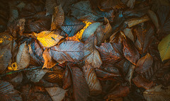 Autumn dry leaves (Dhina A) Tags: sony a7rii ilce7rm2 a7r2 a7r canon fd 55mm f12 ssc canonfd55mmf12ssc 8blades bokeh manualfocus autumn dry leaves