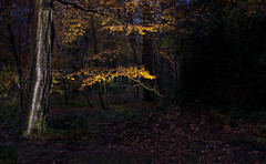 ... forest ... (Jane Friel) Tags: 52weeksof2019 week46 lightpainting night nightshoot torch torchlight playingwithlight forest intheforest trees ilovetrees wicklow cowicklow janefriel janefriel2019