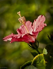 Red Hibiscus (paulgarf53) Tags: flower hibiscus red nature bloom blossom florida macro nikon d700 topaz topazstudio2 150mmf28exdgoshsmapomacro