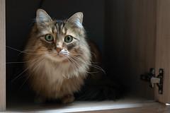 Le chat dans le placard. (LACPIXEL) Tags: chat cat gato amy amyff placard alacena aparador cupboard animal pet mascota mainecoon regard look mirada sony lumièrenaturelle naturallight luznatural flickr lacpixel