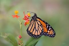 Borboleta Monarca (Carlos Santos - Alapraia) Tags: borboleta ngc flickrcentral ourplanet animalplanet canon nature natureza wonderfulworld highqualityanimals unlimitedphotos fantasticnature butterfly