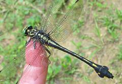 Blackwater clubtail - climbing aboard (Vicki's Nature) Tags: blackwaterclubtail big dragonfly black yellow finger biello georgia june summer vickisnature canon s5 5836 female