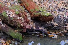 Mossy Logs (Modkuse) Tags: moss logs nature natural natureart art artphotography artistic artisticphotography photoart velvia fujivelvia fujifilmxh1velviasimulation fujifilmvelviasimulation xh1 fujifilm fujinon xf1655mmf28rlmwr fujinonxf1655mmf28rlmwr sooc straightoutofcamera nopostprocessing fujifilmxh1 autumn autumncolor autumncolors fall fallcolors fallcolor intimatelandscape