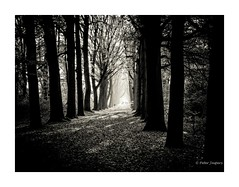 I took a walk in the woods and came out taller than trees (Henry David Thoreau) (Peter Jaspers) Tags: zuiko olympus 2019 frompeterj omd em10 1240mm28 autumn fall herfst zwartwit bn bw blackwhite beukenlaan backlight contrast landgoedlievensberg zoomland bergenopzoom brabant nature hike walk trees shadow beech light haze forest