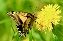 Old World swallowtail (Bakuman3188) Tags: butterfly schmetterling insect insekt tier animal nature natur blumen pflanzen flowers plants germany deutschland grün green 蝶々 昆虫 虫 動物 緑 自然 花 植物 ドイツ canon canon80d canonphotography schwalbenschwanz old world swallowtail oldworldswallowtail