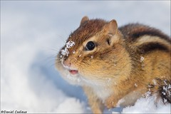 Eastern Chipmunk Stuffed Cheeks (Daniel Cadieux) Tags: chipmunk easternchipmunk cheeks bigcheeks stuffedcheeks cheeky cute winter mammal rodent ottawa