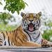 Tigress starting to yawn
