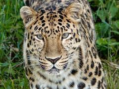 DSC07725.jpg (steam41) Tags: animals yorkshire leopard mammals visits zooanimals yorkshirewildlifepark