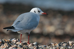 BLACK-HEADED GULL / LARUS RIDIBUNDUS (35-38cm) (tom webzell) Tags: naturethroughthelens