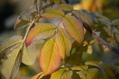 DSC_0027 (griecocathy) Tags: macro feuille rosier gelée brillance jaune rouge vert rosée