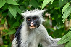 PN Jozani (Enrica F) Tags: jozani zanzíbar tanzania áfrica nikon nature wildlife