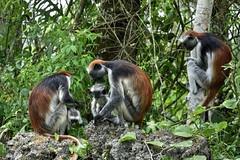 PN Jozani (Enrica F) Tags: jozani zanzíbar tanzania áfrica nikon nature wildlife rato de familia