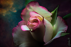 Cosmic Rose (Fotografía John B) Tags: 35mm chile edward flowersplants fujifilm fujinon fujinonxf35mmf20 john johnbankson johnedwardbankson johnb photographer southamerica xt1 xf35mmf20 flor flora floral flores floret flower flowerbed flowers flowersandplants fotografia fotografo macro macroextensiontube photographersonflickr photography rosa rosas rose rosebud roses xf35f2 topaz topazlabs topazstudio topazstudio2 fineart ©johnbankson