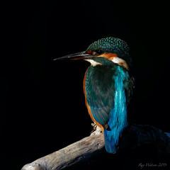 Kingfisher (legoman1691) Tags: kingfisher nature wildlife wildbird naturephotography wildlifephotography